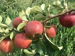 Продаем яблоки отменного качества летниx сортов 2018