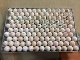 Инкубационное яйцо бройлера КОББ 500 - фото 1