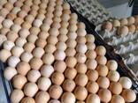 Инкубационное яйцо бройлера КОББ 500 - фото 2