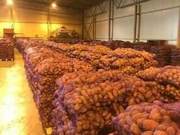 Картофель - Огромный объём - идеальное качество - фото 4