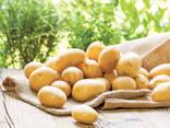 Картофель мытый продовольственный - фото 1