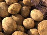 Картофель сорт: Гала (Беларусь) - photo 1