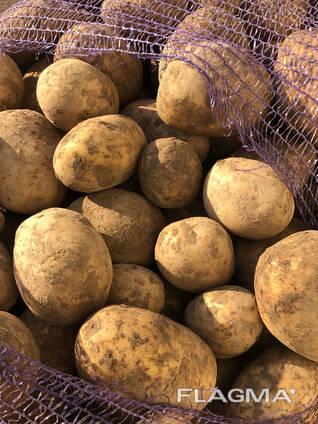 Картофель сорт: Гала (Беларусь)