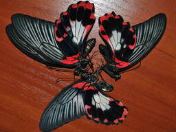 Крылья тропических бабочек, засушенные.