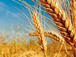 Озимые семена пшеницы, ячменя, рапса от производителя Украины - фото 1