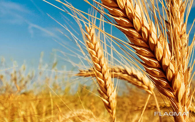 Озимые семена пшеницы, ячменя, рапса от производителя Украины