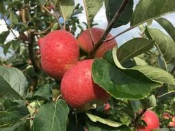 Продаем яблоки отменного качества летниx сортов 2018 - фото 3