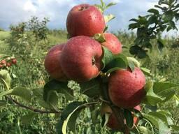 Продаем яблоки отменного качества летниx сортов 2018 - фото 5