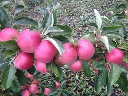 Продаем яблоки собственного производства-выгодно