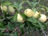 Продаем яблоки собственного производства-выгодно - фото 4