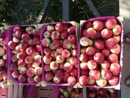 Продаём летние сорта яблока и сливы
