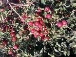 Продаём летние сорта яблока и сливы - фото 3