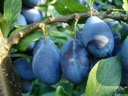 Продаём летние сорта яблока и сливы - фото 5