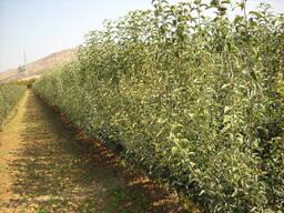 Саженцы Яблони из Греции