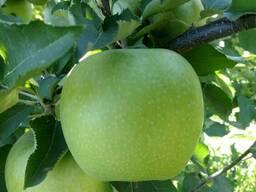 Яблоки Мутсу/Криспин
