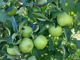 Яблоки Мутсу/Криспин - фото 3