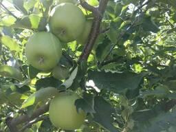 Яблоки Мутсу/Криспин - фото 5