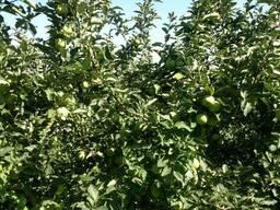 Яблоки Мутсу/Криспин - фото 7