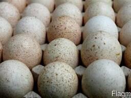 Яйцо инкубационное индюшиное. Возможен экспорт.
